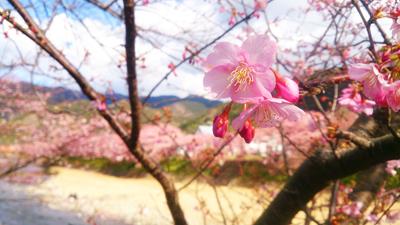 河津桜 (2)1.jpg